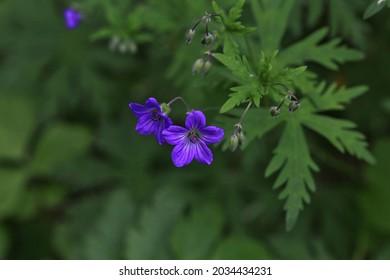 The flower in forest, Krasnoyarsk, Siberia, Russia.