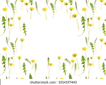 Flower frame. Pattern from plants, yellow wild flowers dandelion, isolated on white background, flat lay, top view. The concept of summer, spring, Mother's Day, March 8.