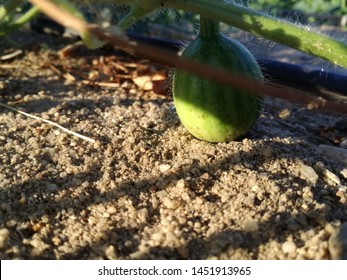From the flower to the fruit. Watermelon just born for self-consumption, subsistence agriculture. Cultivation of the center of the Iberian Peninsula. Typical product of the irrigated orchard in summer