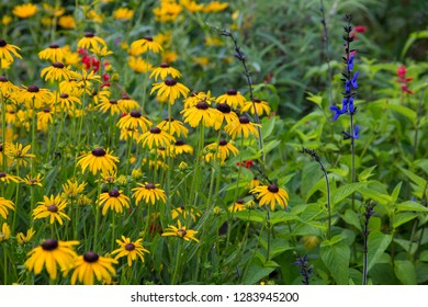 Flower garden with Black-eyed Susans (Rudbeckia hirta) and Black and Blue Salvias (Salvia guaranitica 'Black and Blue'), Marion County, IL