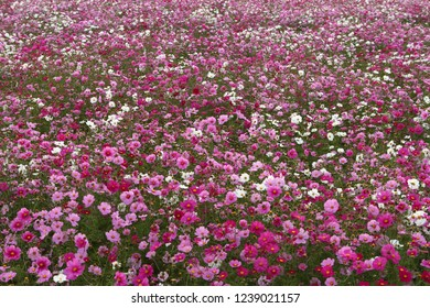 Flower garden of cosmos