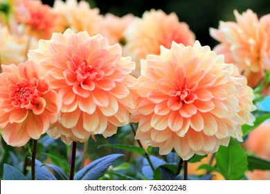 Flower garden of dahlia of autumn