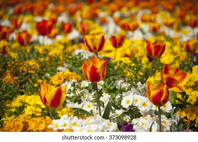 Flower garden full of bright red and yellow tulips
