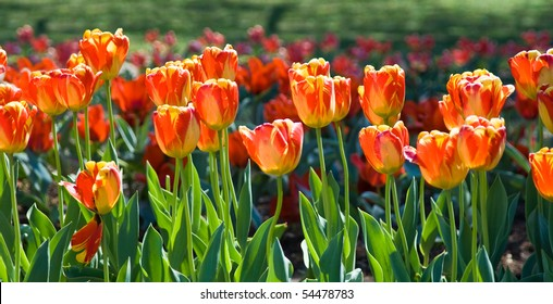 Flower garden full of tulips