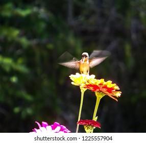 Flower Garden Hummingbird