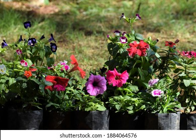 Flower garden multicolored variety of Petunia flowers includes pink celebrity petunia,white Picotee petunia,Purple mixed bi-color petunias amidst green leaves foliage background
