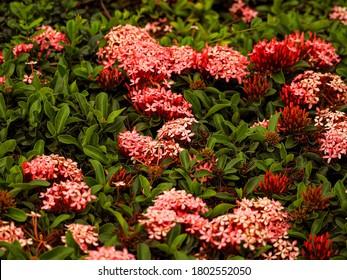Flower garden pink jungle geranium. King Ixora (Ixora chinensis).  Rubiaceae flower, Ixora flower, Ixora coccinea in the garden.
