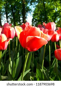 Flower garden of red tulips in sunlight.  Floriculture and gardening.  2.