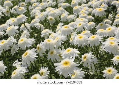 flower garden of Shuster daisy