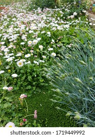 Flower garden in spring with beautiful white daisies for easy gardeding.