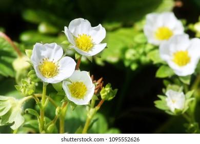 Flower garden strawberries