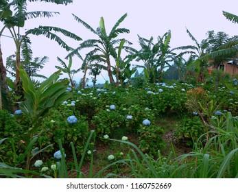 Flower Gardens In Mountainous Areas Hydrangea Macrophylla At Munduk Village North Bali, Indonesia