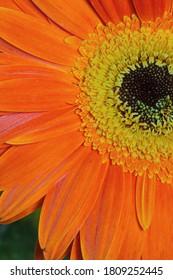 Flower gerbera full of joy and fun