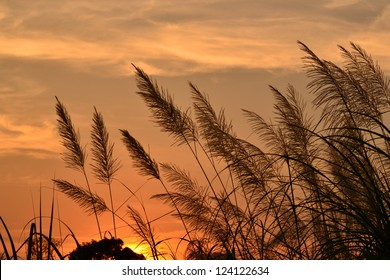 The flower of Giant reed on golden background.