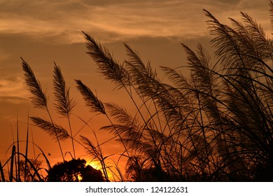The flower of Giant reed and sunset.
