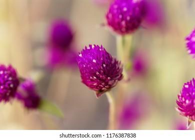 A flower of globe amaranth (Gomphrena globose)