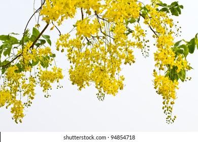 Flower of Golden Shower Tree
