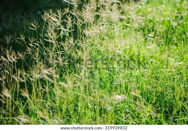 Flower grass field with sunlight in morning