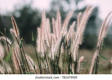 flower of grass with sunlight