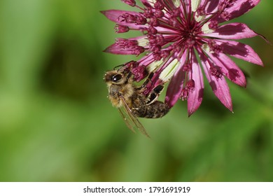 Flower of the great masterwort (Astrantia major), family Apiaceae and a western honey bee or European honey bee (Apis mellifera) of the family Apidae. In a Dutch garden. June