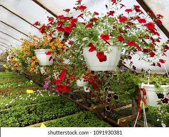 flower greenhouse. growing flowers in winter. business.