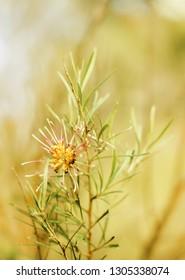 Flower of Grevillea plant native to Australia