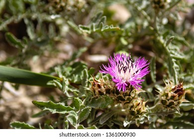 Flower growing on the dunes of Elafonisi beach in Crete, Greece