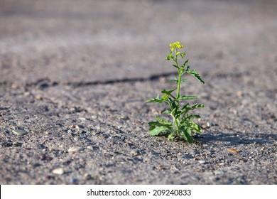 Flower growing through hard asphalt. Concept of struggle and break through.