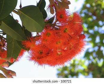 flower gum tree