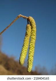 Flower of Hazel Tree - Male catkins of common hazel