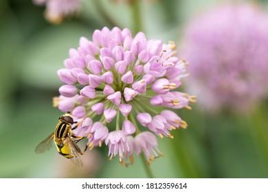 Flower Head of an Allium flower (Allium lusitanicum) and a Hornet mimic hoverfly (Volucella zonaria). close-up of Allium senescens ssp. montanum in bloom. low key