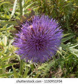 Flower Head of an Artichoke Thistle or Cardoon (Cynara cardunculus) in a Country Cottage Garden in Rural Devon, England, UK