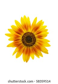 The flower head of a beautiful sunflower isolated on white.