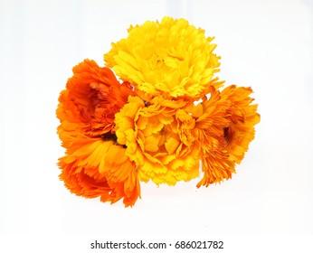 Flower head of calendula