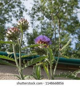 Flower Head of a Cardoon or Artichoke Thistle (Cynara cardunculus) Against a Woodland Background in a  Garden in Rural Devon, England, UK