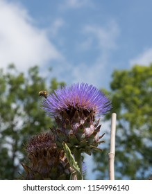 Flower Head of a Cardoon (Cynara cardunculus) with a Cloudy Blue Sky Background in a Country Cottage Garden in Rural Devon, England, UK