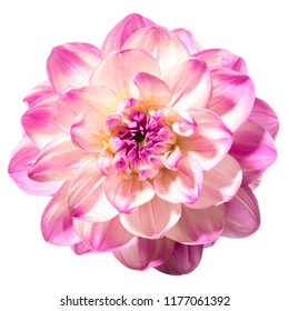Flower head of dahlia isolated on a white background