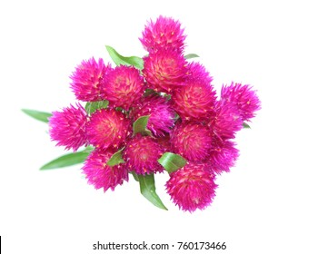 flower head of globe amaranth in a white background