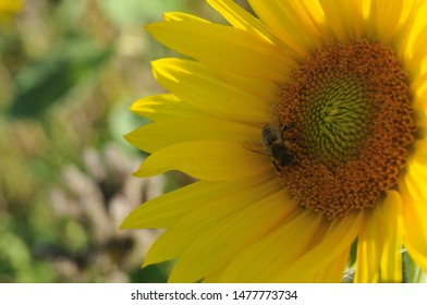 flower head of helianthus annuus, the common sunflower, with honey bee on disk florets