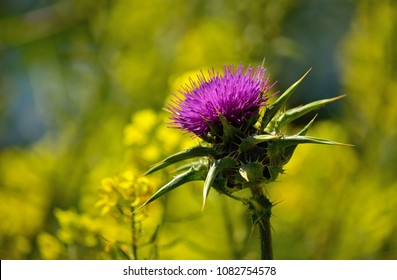 Flower head of milk thistle and blurred yellow background, Silybum marianum