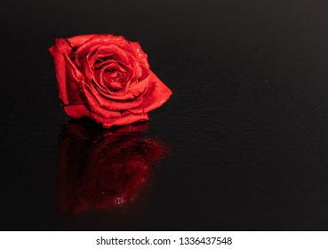 Flower head on the black reflected background. Beautiful artificial red rose with the water drops. Low key photography