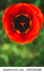 Flower head of red tulip with grass blur