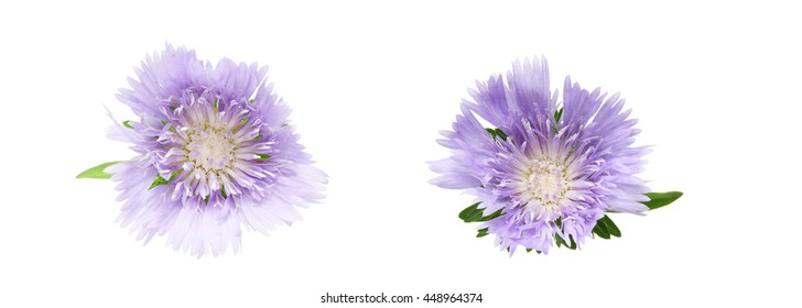 Flower head of scabiosa