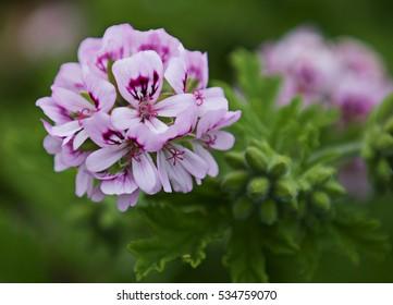 Flower head of Sweet-scented Geranium (Pelargonium graveolens), Cornwall, UK.