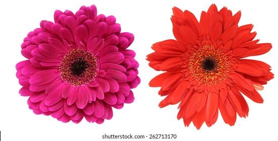 Flower head of the transvaal daisy