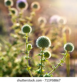 flower heads of prickly plants backlit by sunlight