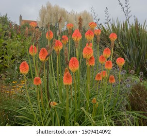 Flower Heads of the Torch Lily or Red Hot Poker (Kniphofia) on the South West Coast Path in a Park on the Promenade or Seafront in the Seaside Town of Penzance in Cornwall, England, UK