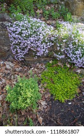A flower and herb garden of purple creeping phlox, marjorum and thyme on an early spring morning