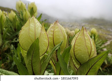 Flower of Himalayas Brahma Kamal scientific name Saussurea obvallata. Saussurea obvallata is a species of flowering plant in the Asteraceae.