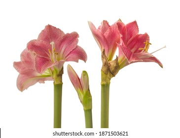 "Flower Hippeastrum (amaryllis) Diamond  Group or  Sonata ""Amalfi"" on a white background isolated"